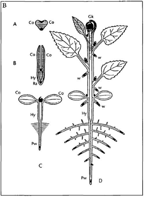 Die Urpflanze